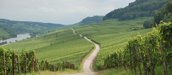 Moezel wijngaarden