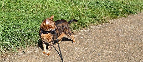 Kat aan de riem