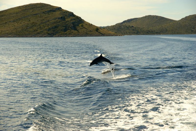 Dolfijnen in Kroatië