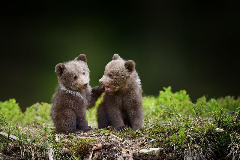 Babyberen spotten